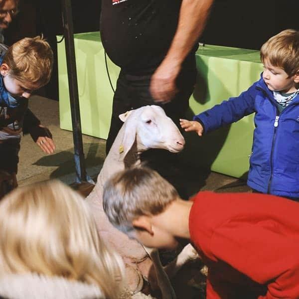 Slow Schaf Schafscheren